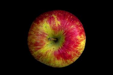 Honeycrisp Apple, developed in Minnesota, 1961. Cross between 'Keepsake' and 'Unknown'.
