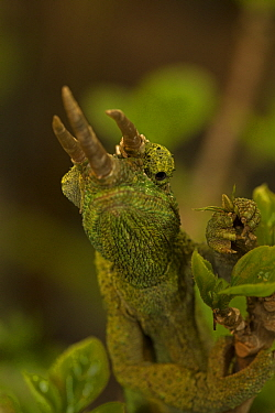 Jackson's three-horned chameleon (Trioceros jacksonii) occurs in East Africa and introduced in USA.
