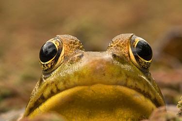 Green frog (Rana clamitans), Washington DC, USA, September.