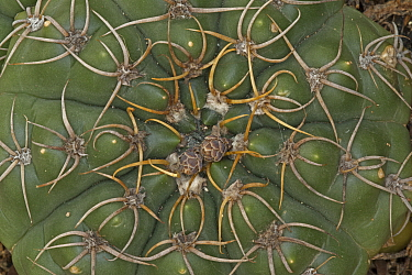 Cactus (Gymnocalycium denudatum), Native to South America.
