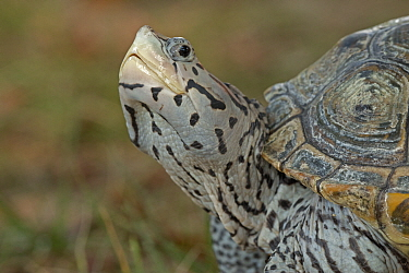 Diamondback terrapin (Malaclemys terrapin), Washington DC, USA. Captive