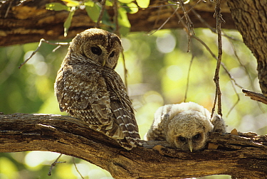 Spotted owl (Strix occidentalis) female and young on branch, Arizona, USA.