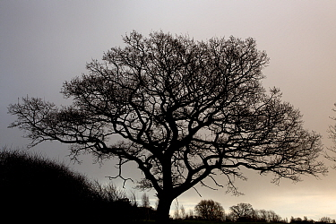 English oak tree (Querqus robur) silhouetted in winter, Herefordshire, UK, January.