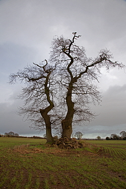 English oak (Quercus robur) trees in winter field, Herefordshire, UK, January.