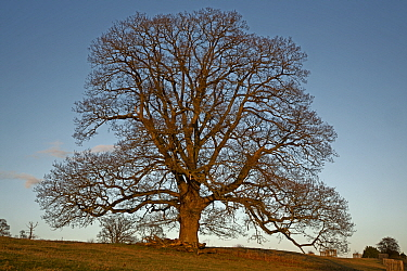 English oak (Quercus robur) silhouetted in winter. Herefordshire, England, UK, January.