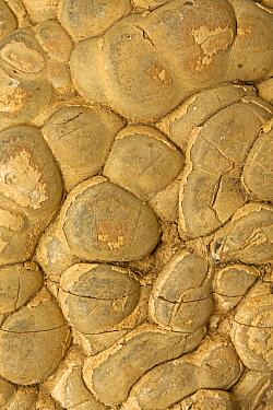 Fossil stromatolite, Wyoming, USA, March.