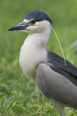 Black crowned night heron (Nycticorax nycticorax), Washington DC, USA, May.