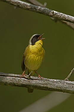 Common yellowthroat (Geothlypis trichas) singing, New York, USA, May.