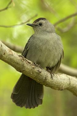 Gray catbird (Dumetella carolinensis) New York, USA, May.