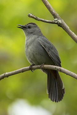 Gray catbird (Dumetella carolinensis) singing, New York, USA, May.