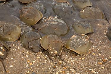 Atlantic horseshoe crab (Limulus polyphemus) ashore to breed, Delaware Bay, Delaware, USA. Gulf of Mexico, Atlantic Ocean. May.