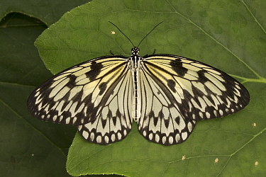 Paper kite butterfly (Idea leuconoe) captive, from South East Asia.