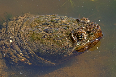 Snapping turtle (Chelydra serpentina) in water, Virginia, USA.