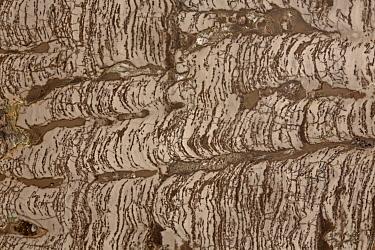 Stromatolite (columnar) fossil, also called microbial carbonates, Torgo River Basin,Yakutia, Saha Republic, Russia, Precambrian.