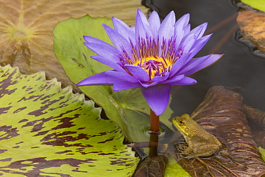 Young American bullfrog (Lithobates catesbeianus) sitting on Water lily (Nymphaea sp) pad by flower, Washington DC, USA, July.