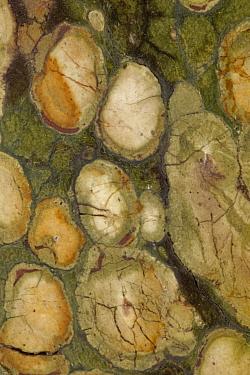 Close up of a polished cross section of Kambaba Jasper, fossilised Stromatolite, Madagascar.