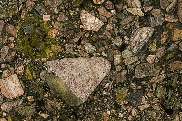 """Metaconglomerate, a metamorphosed conglomerate, the green is epidote, """"green marinace"""" in the stone trade, polished cross-section, Brazil."""