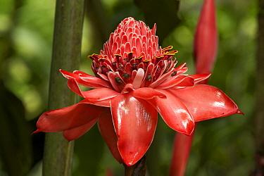 Torch ginger (Etlingera elatior) portrait of flower, Costa Rica