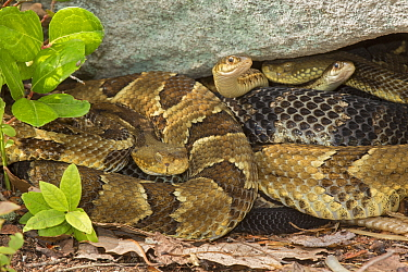 Timber rattlesnakes (Crotalus horridus) gravid females basking to bring young to term with Common garter snakes (Thamnophis sirtalis) Pennsylvania, USA
