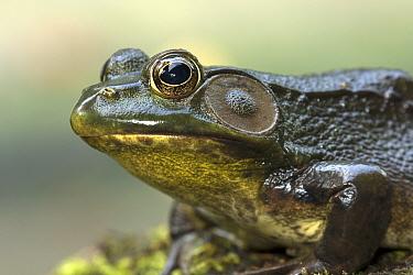 Green frog (Lithobates / Rana clamitans) New York, USA