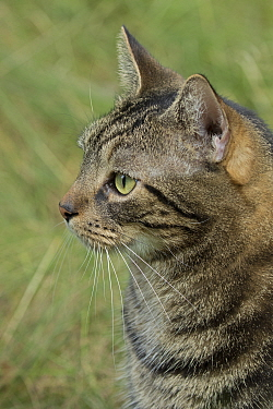 Feral cat made into domestic pet, New York