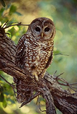 Mexican spotted owl {Strix occidentalis lucida} Arizona USA endangered