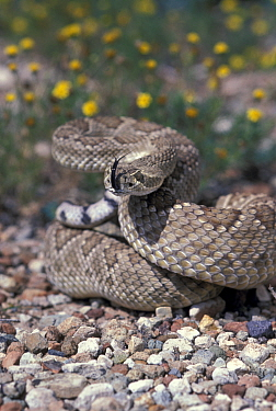 Mojave rattlesnake strike posture {Crotalus scutulatus} Arizona USA