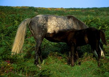 Dartmoor pony suckling young. (Equus caballus) Dartmoor NP Devon UK