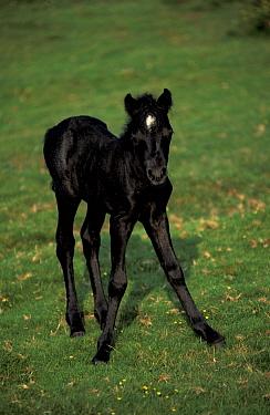 Dartmoor foal {Equus caballus} Devon UK