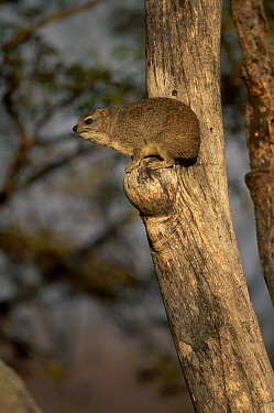 Small toothed rock hyrax in tree {Heterohyrax brucei} Zimbabwe