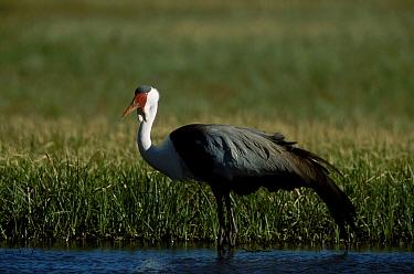 Wattled crane endangered {Bugeranus carunculatus} South Africa {Grus carunculatus}