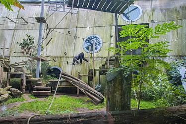 Mountain gorilla (Gorilla beringei) in its enriched outdoor enclosure, Ouwehands Zoo, Rhenen, The Netherlands. Captive.