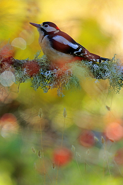 Great spotted woodpecker (Dendrocopos major) in Autumn, Andalusia, Spain, October.