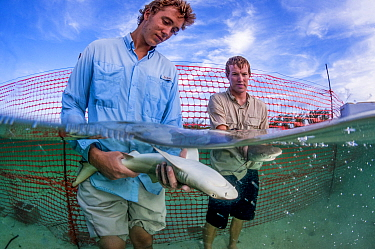 Shark biologist Ian Bouyoucos and education programme assistant Cameron Raguse from the Cape Eluthera Institute release two juvenile lemon sharks (Negaprion brevirostris) back into the wild. The shark...