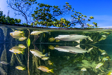 Lemon shark juvenile (Negaprion brevirostris) swimming in mangrove habitat, surrounded by smaller fish species, prey for the shark. Eleuthera, Bahamas.