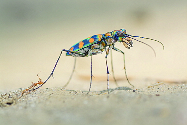 A giant riverine tiger beetle (Cicindela octonotata) attacked by a weaver ant (Oecophylla smaragdina) when the beetle was raiding the ant colony. The beetle had bitten the ant in half but did not get...