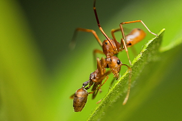Ant-mimicking crab spider (Amyciaea lineatipes) predating a weaver ant (Oecophylla smaragdina) . Ant-mimicking crab spiders live around ant colonies.   Buxa tiger reserve, India. Winning Portfolio of...