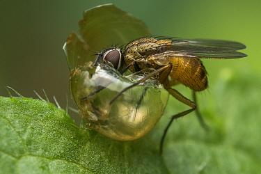 A shoot fly (Atherigona sp) feeding on inside of a broken snail shell, Buxa tiger reserve, India.