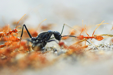 A group of weaver ants (Oecophylla smaragdina) attacking a solitary Indian queenless ant (Diacamma sp) Buxa tiger reserve, India. Winning Portfolio of the Wildlife Photographer of the Year Awards (WPO...
