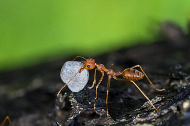 A weaver ant (Oecophylla smaragdina) carrying a small stone to their nest. Scientists are not sure why they do this. Buxa tiger reserve, India. Winning Portfolio of the Wildlife Photographer of the Ye...