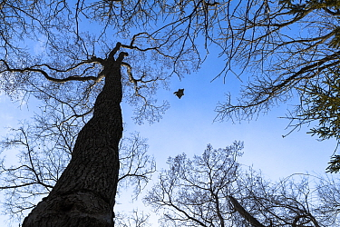 Japanese dwarf flying squirrel (Pteromys volans orii) male gliding between trees. Hokkaido, Japan. March.