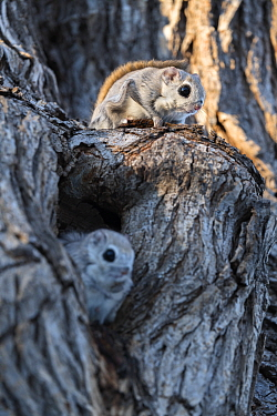 Japanese dwarf flying squirrel (Pteromys volans orii) pair on tree trunk, female in oestrus in nest hole, male sitting on guard above to fend off approaching males. Hokkaido, Japan. March.