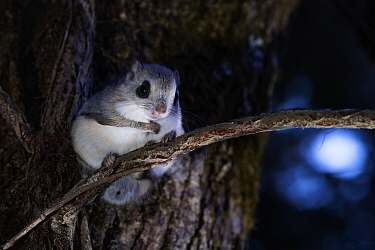 Japanese dwarf flying squirrel (Pteromys volans orii) sitting on tree trunk at night near nest hole. Hokkaido, Japan. March.