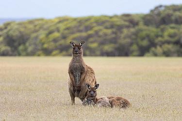 Western grey kangaroo (Macropus fuliginosus) pair in grassland with forest in background, male standing, female lying down. Kangaroo Island, South Australia.