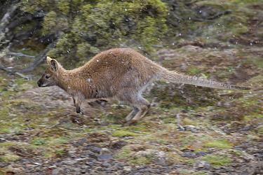 Bennett's wallaby (Macropus rufogriseus) jumping in falling snow. Mount Field National Park, Tasmania, Australia. November.