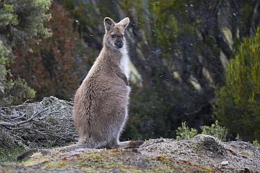 Bennett's wallaby (Macropus rufogriseus) sitting in falling snow. Mount Field National Park, Tasmania, Australia. November.