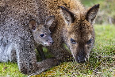 Bennett's wallaby (Macropus rufogriseus) female feeding with joey aged seven months in pouch. Cradle Mountain National Park, Tasmania, Australia.