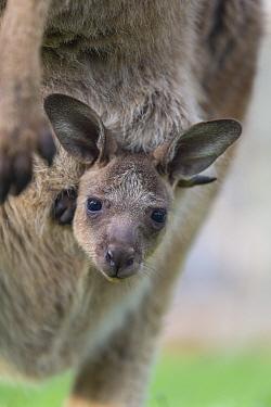 Forester kangaroo (Macropus giganteus tasmaniensis) joey aged seven months looking out of pouch. Bonorong Wildlife Sanctuary, Tasmania.