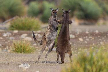Western grey kangaroo (Macropus fuliginosus), two males sparring. Kangaroo Island, South Australia.
