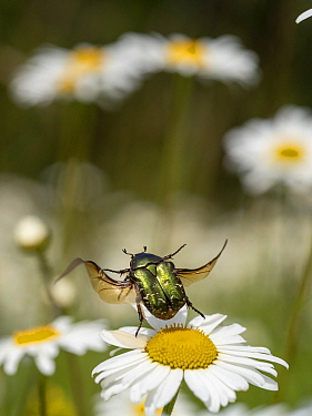 Rose chafer beetle (Cetonia aurata) taking off from Oxeye daisy (Leucanthemum vulgare) flower. Akershus, Norway. July.